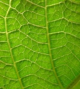 Jatropha_hybrid_-_Leaf_detail_(129_DAS)_(4595559479)